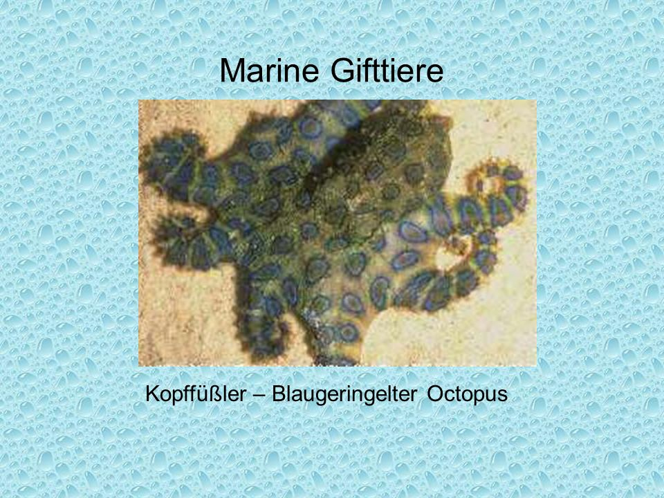 Kopffüßler – Blaugeringelter Octopus