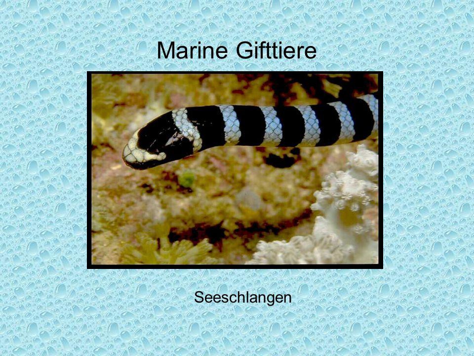 Marine Gifttiere Seeschlangen