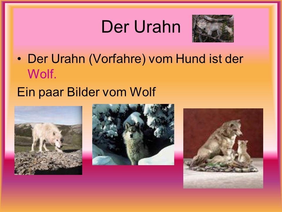 Der Urahn Der Urahn (Vorfahre) vom Hund ist der Wolf.