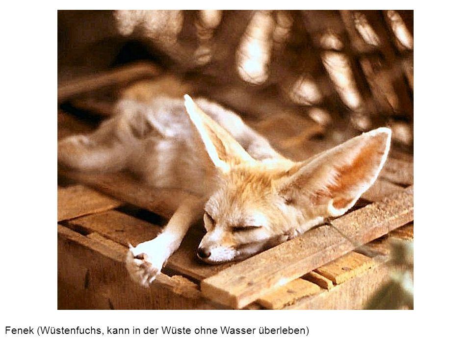 Fenek (Wüstenfuchs, kann in der Wüste ohne Wasser überleben)