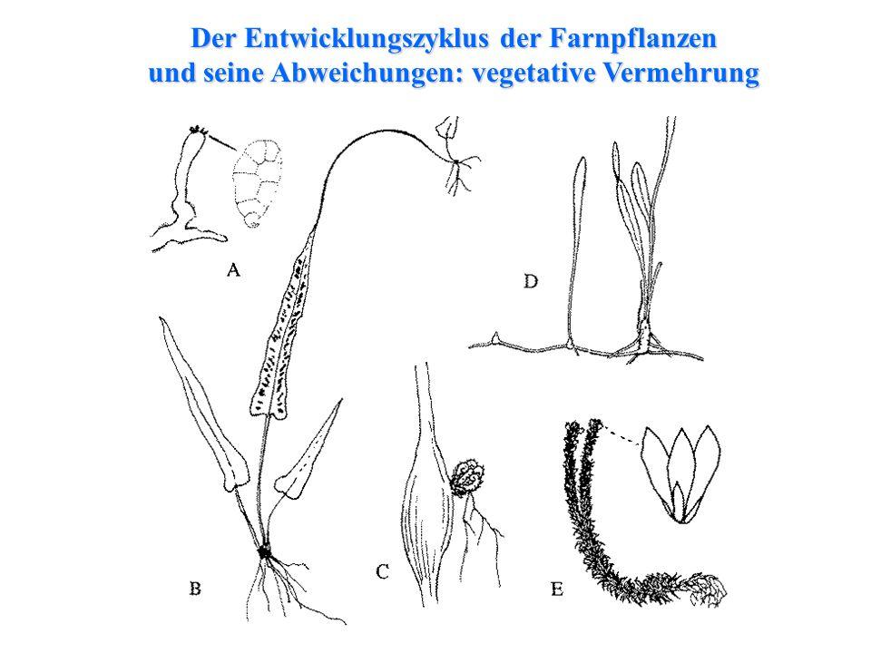Der Entwicklungszyklus der Farnpflanzen und seine Abweichungen: vegetative Vermehrung