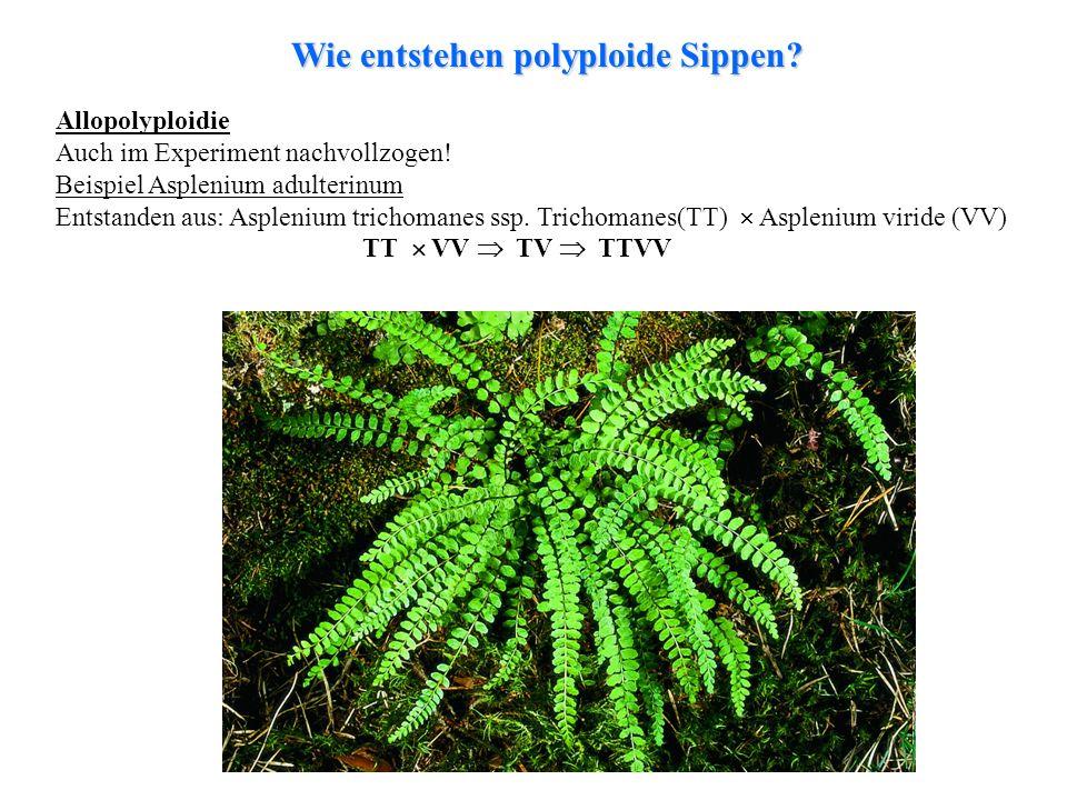Wie entstehen polyploide Sippen