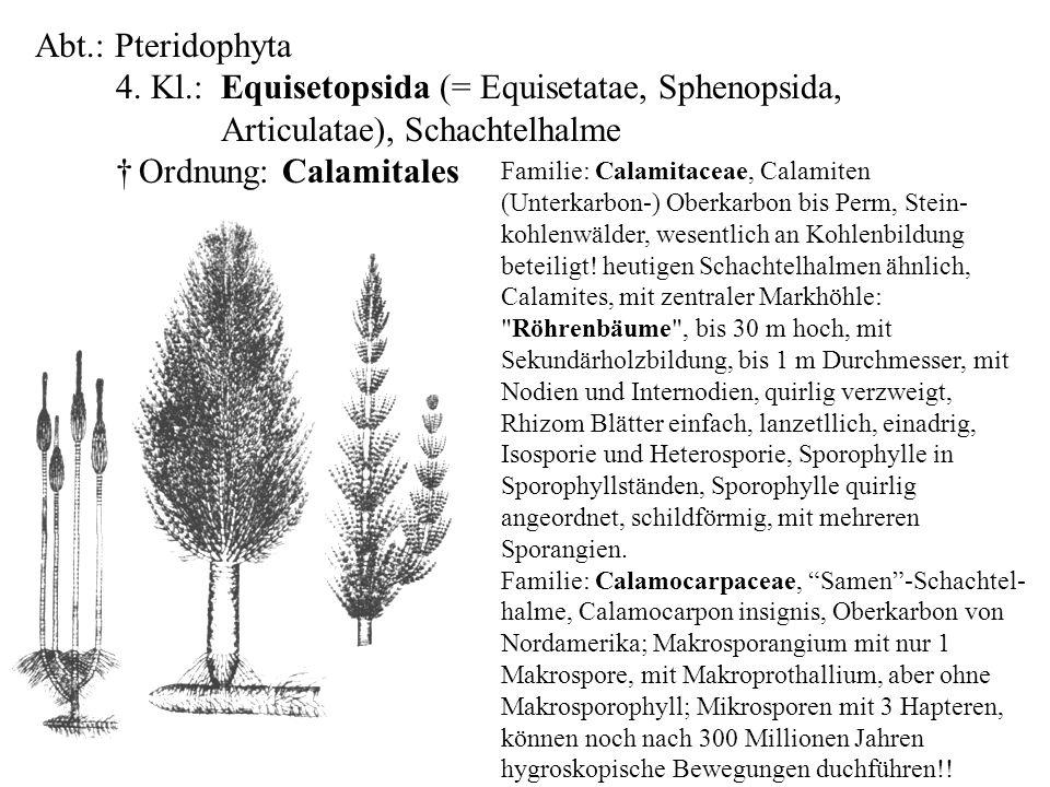 Abt.: Pteridophyta 4. Kl.: Equisetopsida (= Equisetatae, Sphenopsida, Articulatae), Schachtelhalme † Ordnung: Calamitales