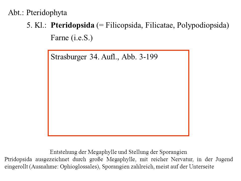 Entstehung der Megaphylle und Stellung der Sporangien
