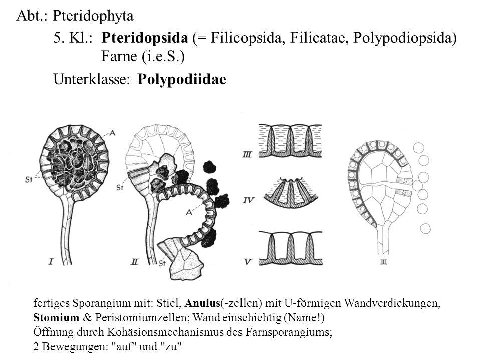 5. Kl.: Pteridopsida (= Filicopsida, Filicatae, Polypodiopsida)