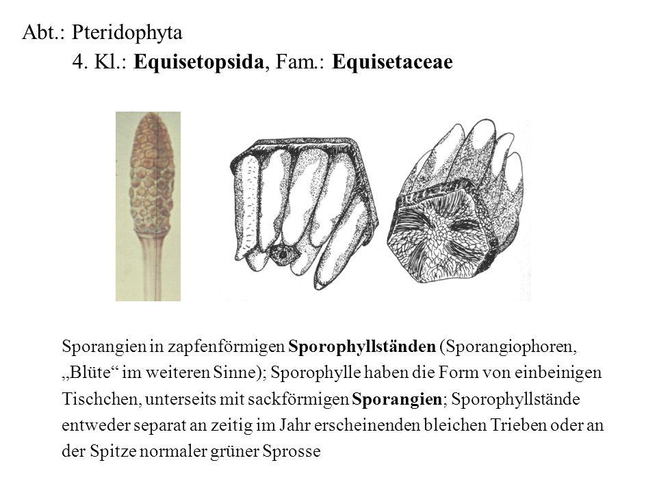 4. Kl.: Equisetopsida, Fam.: Equisetaceae