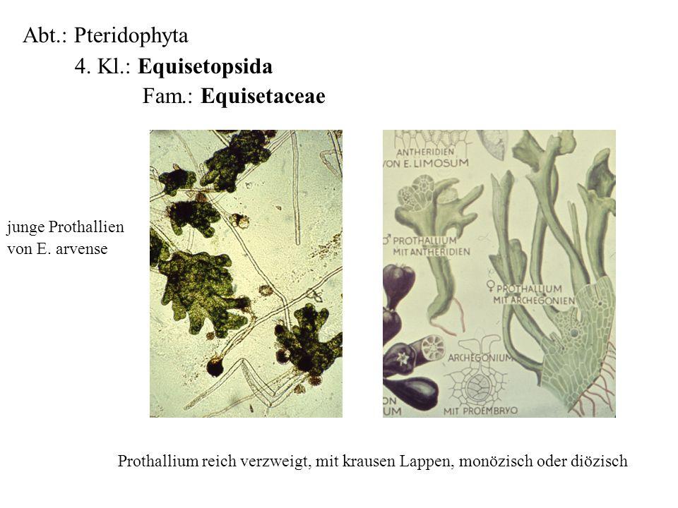 Abt.: Pteridophyta 4. Kl.: Equisetopsida Fam.: Equisetaceae