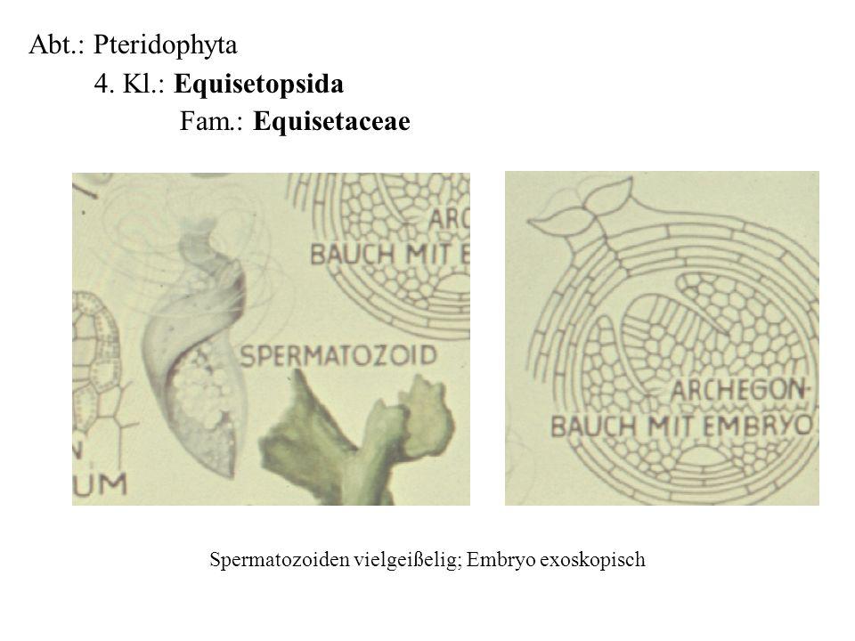 Spermatozoiden vielgeißelig; Embryo exoskopisch