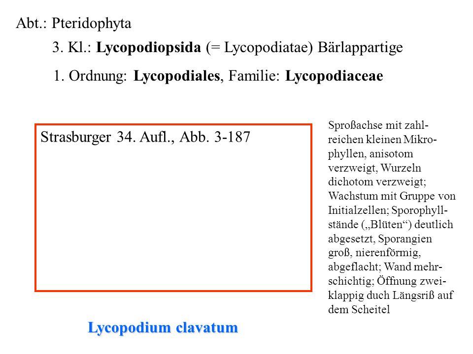 3. Kl.: Lycopodiopsida (= Lycopodiatae) Bärlappartige