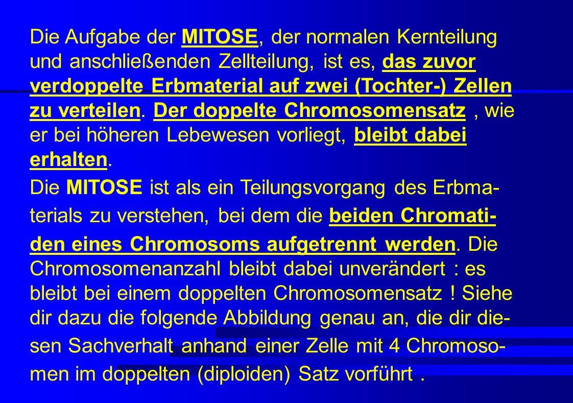 Die Aufgabe der MITOSE, der normalen Kernteilung und anschließenden Zellteilung, ist es, das zuvor verdoppelte Erbmaterial auf zwei (Tochter-) Zellen zu verteilen. Der doppelte Chromosomensatz , wie er bei höheren Lebewesen vorliegt, bleibt dabei erhalten.