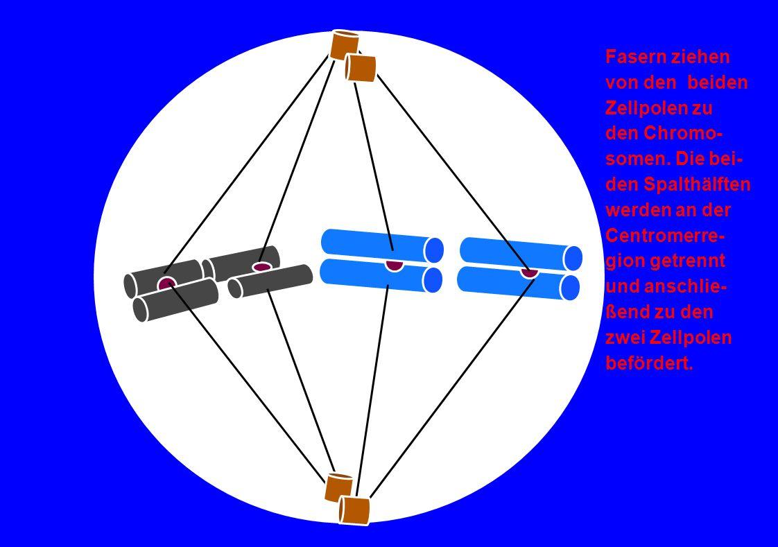 Fasern ziehenvon den beiden. Zellpolen zu. den Chromo- somen. Die bei- den Spalthälften. werden an der.