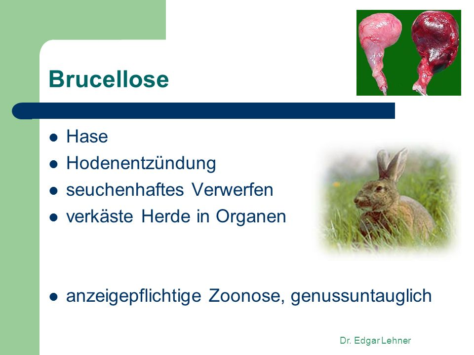 Brucellose Hase Hodenentzündung seuchenhaftes Verwerfen