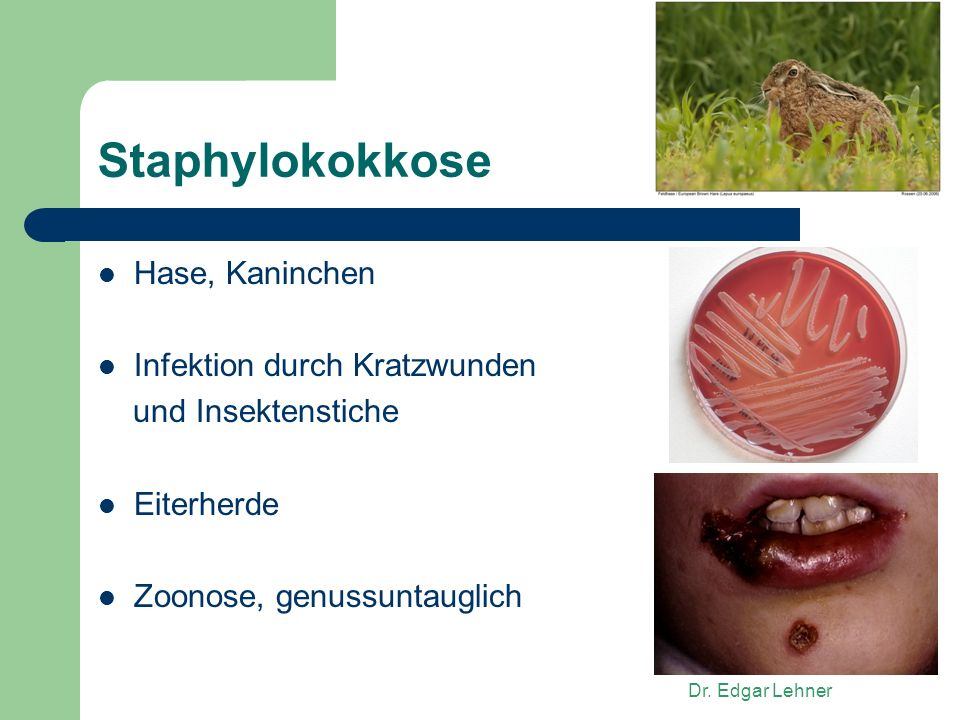 Staphylokokkose Hase, Kaninchen Infektion durch Kratzwunden