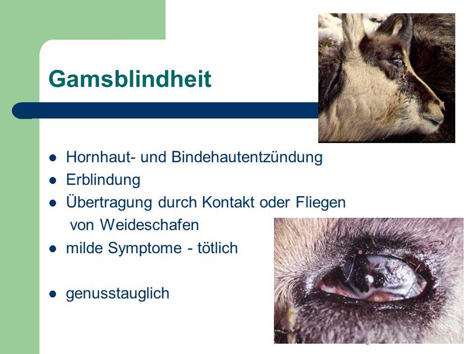 Gamsblindheit Hornhaut- und Bindehautentzündung Erblindung
