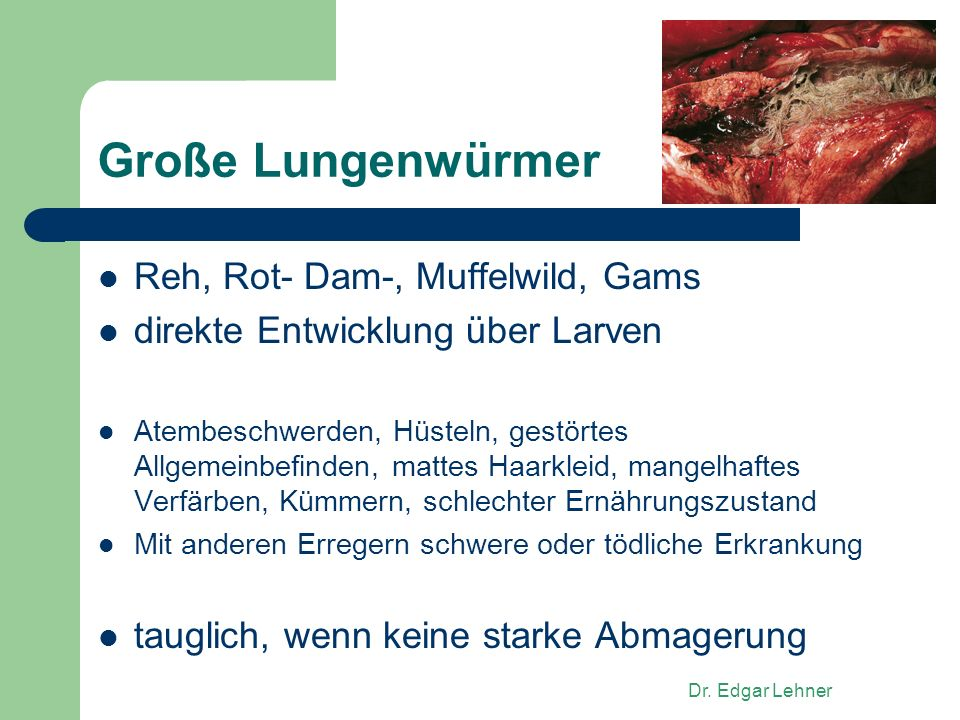 Große Lungenwürmer Reh, Rot- Dam-, Muffelwild, Gams