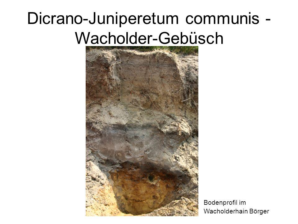 Dicrano-Juniperetum communis - Wacholder-Gebüsch