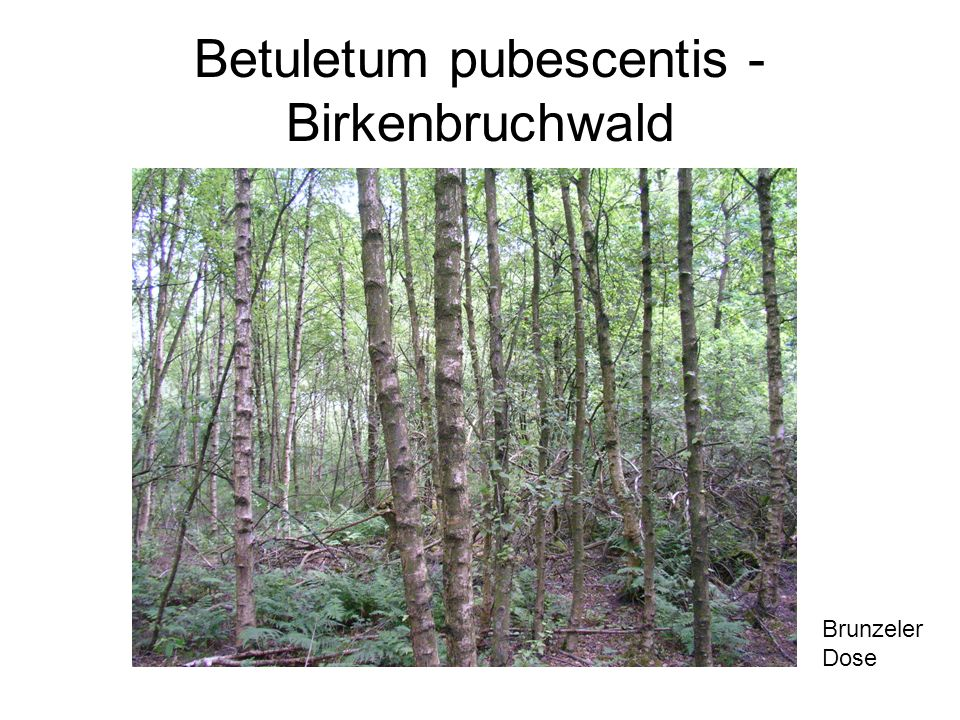 Betuletum pubescentis - Birkenbruchwald