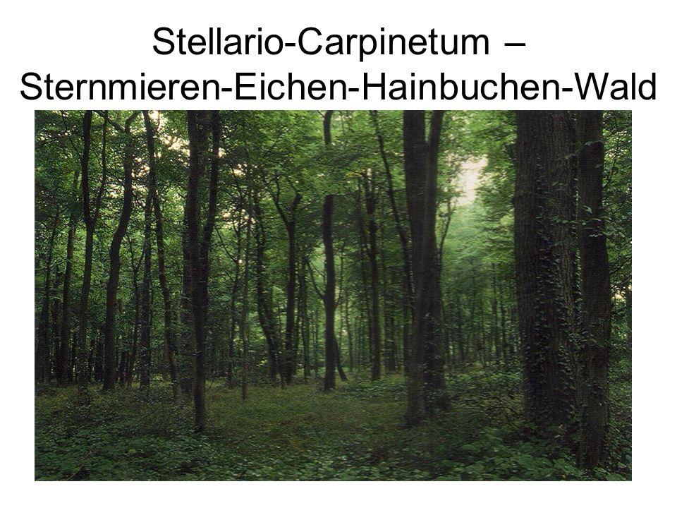 Stellario-Carpinetum – Sternmieren-Eichen-Hainbuchen-Wald