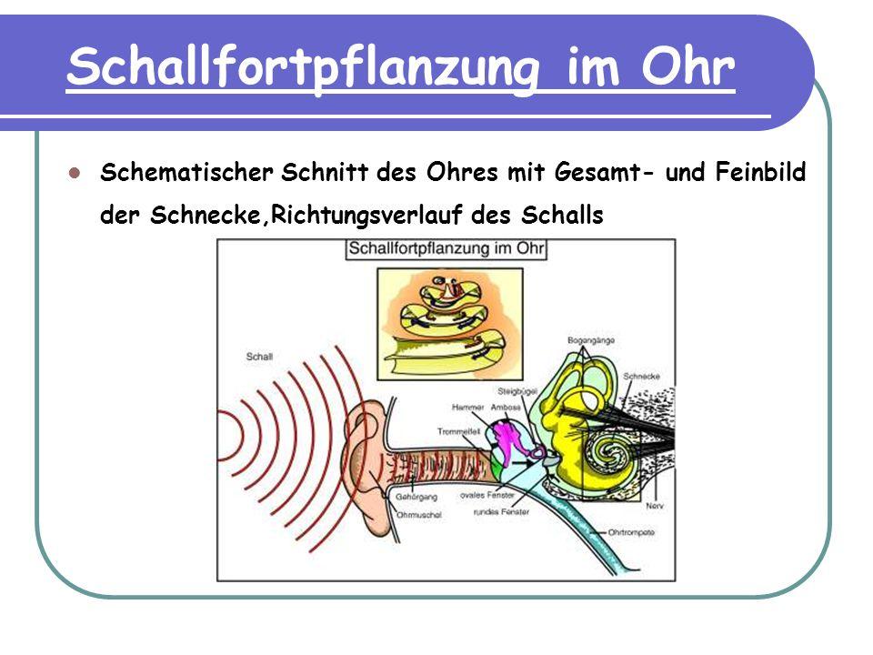 Schallfortpflanzung im Ohr