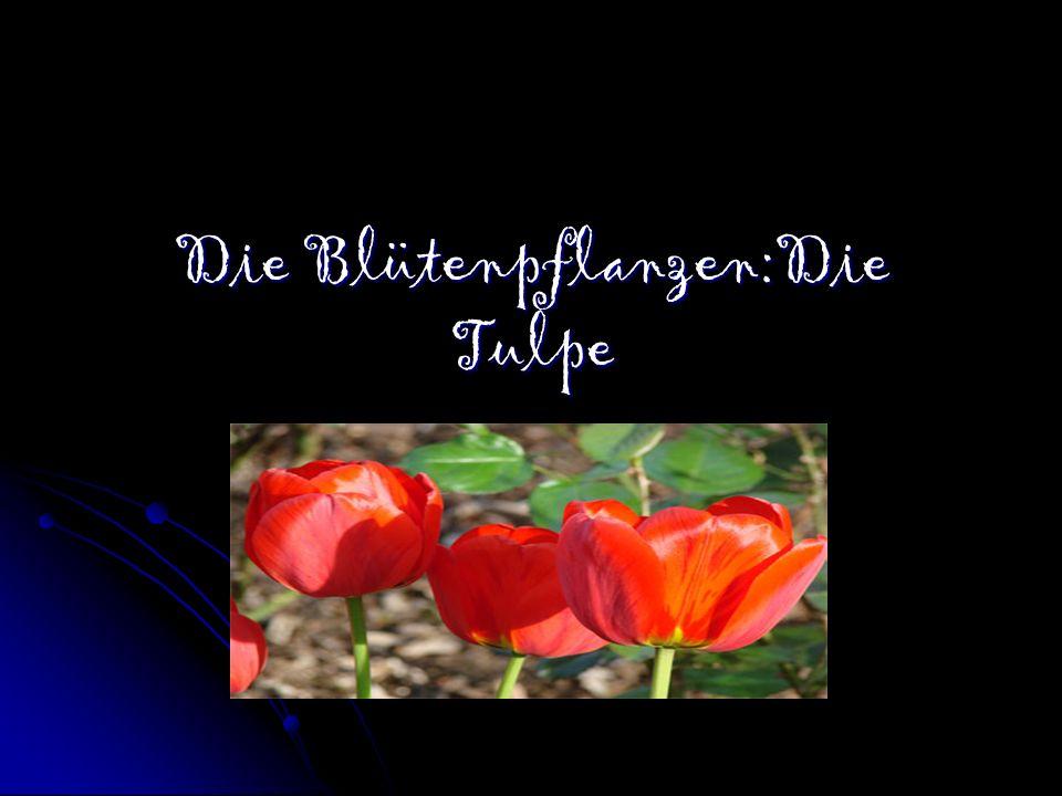 Die Blütenpflanzen:Die Tulpe