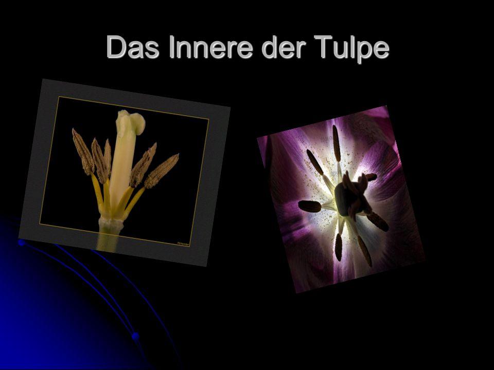 Das Innere der Tulpe