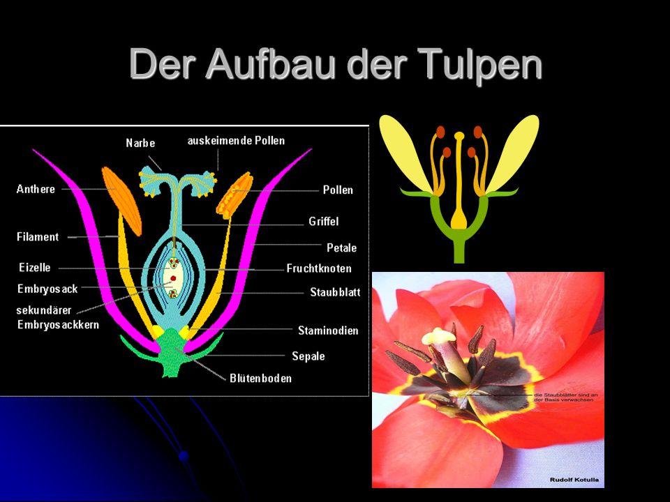 Der Aufbau der Tulpen