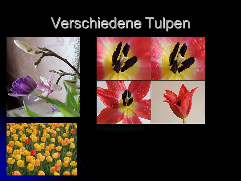 Verschiedene Tulpen