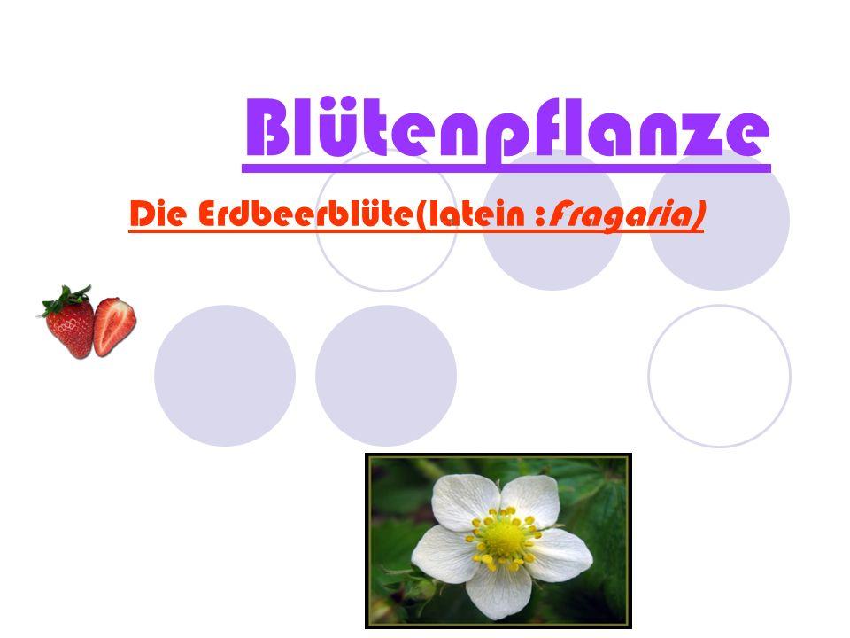 Die Erdbeerblüte(latein :Fragaria)