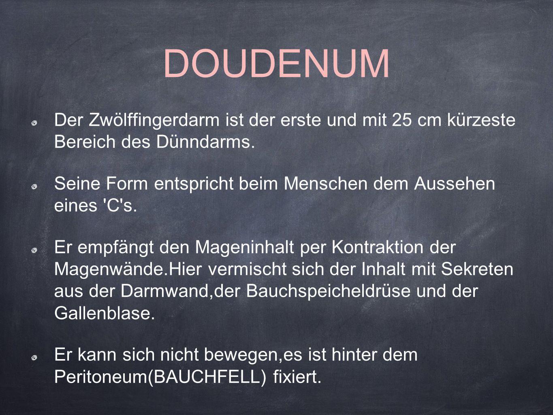 DOUDENUM Der Zwölffingerdarm ist der erste und mit 25 cm kürzeste Bereich des Dünndarms.