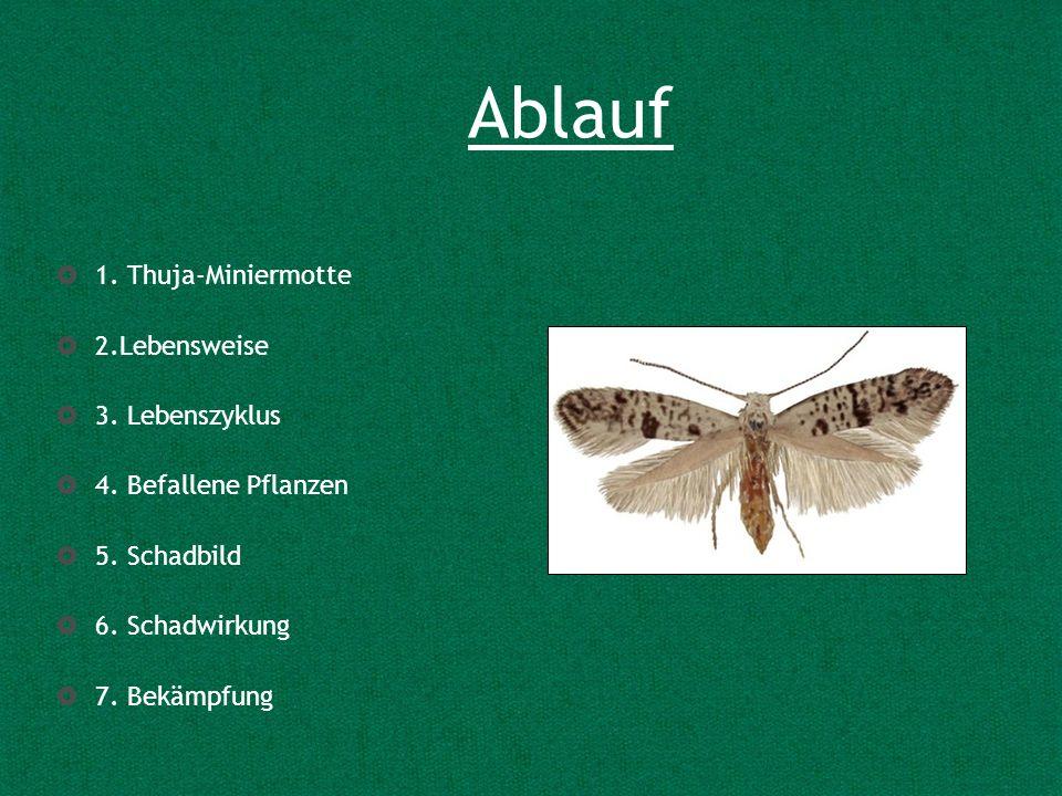 Ablauf 1. Thuja-Miniermotte 2.Lebensweise 3. Lebenszyklus