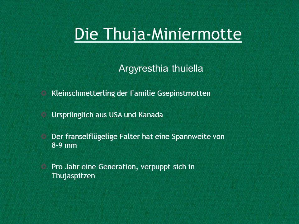 Die Thuja-Miniermotte