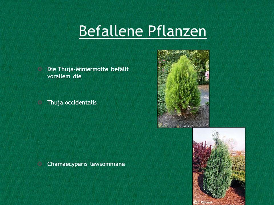 Befallene Pflanzen Die Thuja-Miniermotte befällt vorallem die