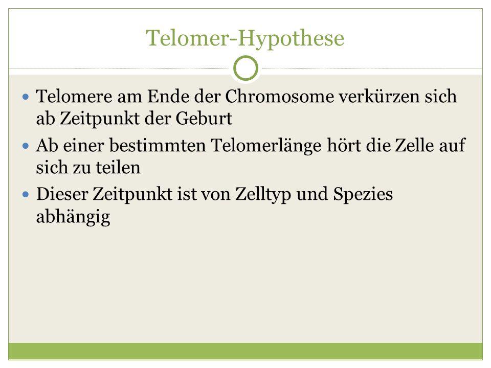 Telomer-Hypothese Telomere am Ende der Chromosome verkürzen sich ab Zeitpunkt der Geburt.
