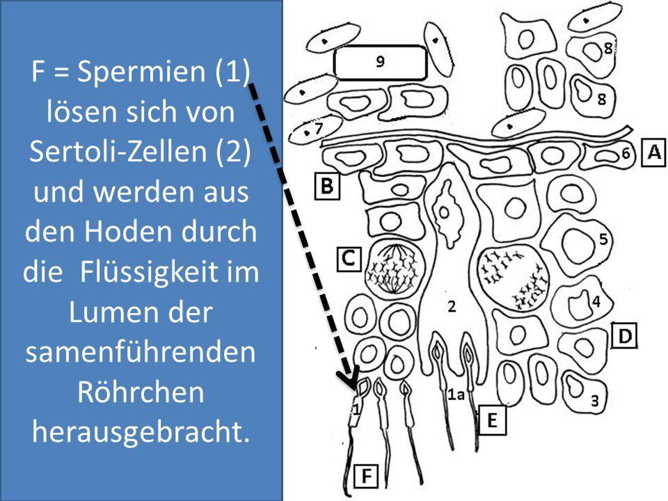 F = Spermien (1) lösen sich von Sertoli-Zellen (2) und werden aus den Hoden durch die Flüssigkeit im Lumen der samenführenden Röhrchen herausgebracht.