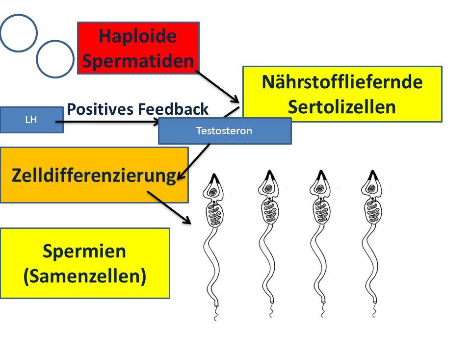 Nährstoffliefernde Sertolizellen Spermien (Samenzellen)