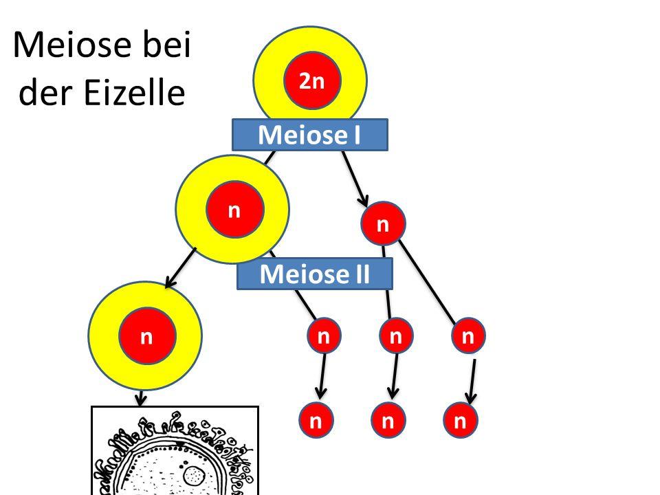 Meiose bei der Eizelle 2n Meiose I n n Meiose II n n n n n n n n