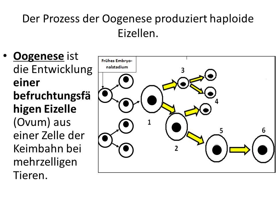 Der Prozess der Oogenese produziert haploide Eizellen.