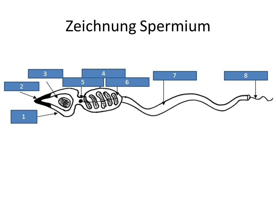Zeichnung Spermium 3 4 7 8 5 6 2 1