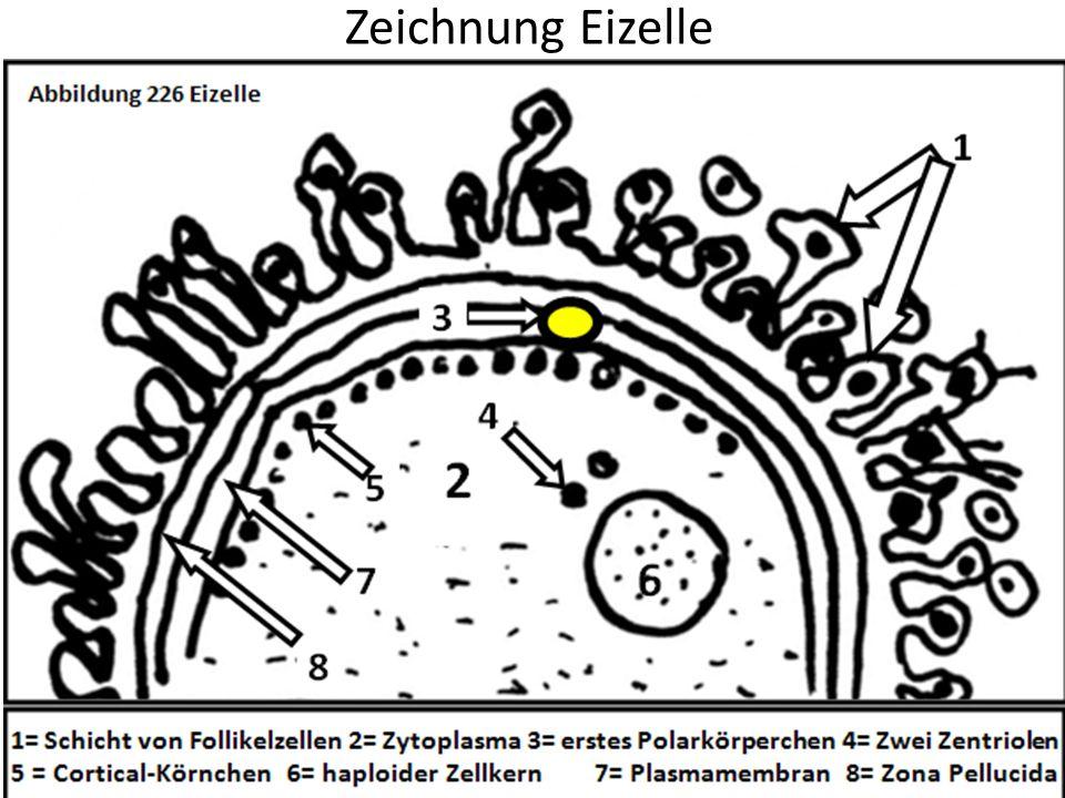 Zeichnung Eizelle