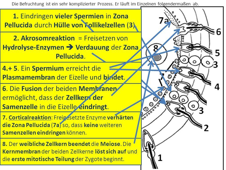 4.+ 5. Ein Spermium erreicht die Plasmamembran der Eizelle und bindet.