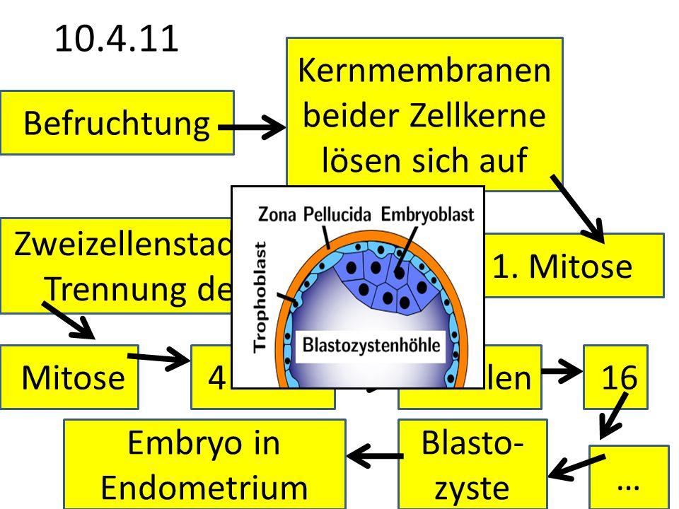 10.4.11 Kernmembranen beider Zellkerne lösen sich auf Befruchtung