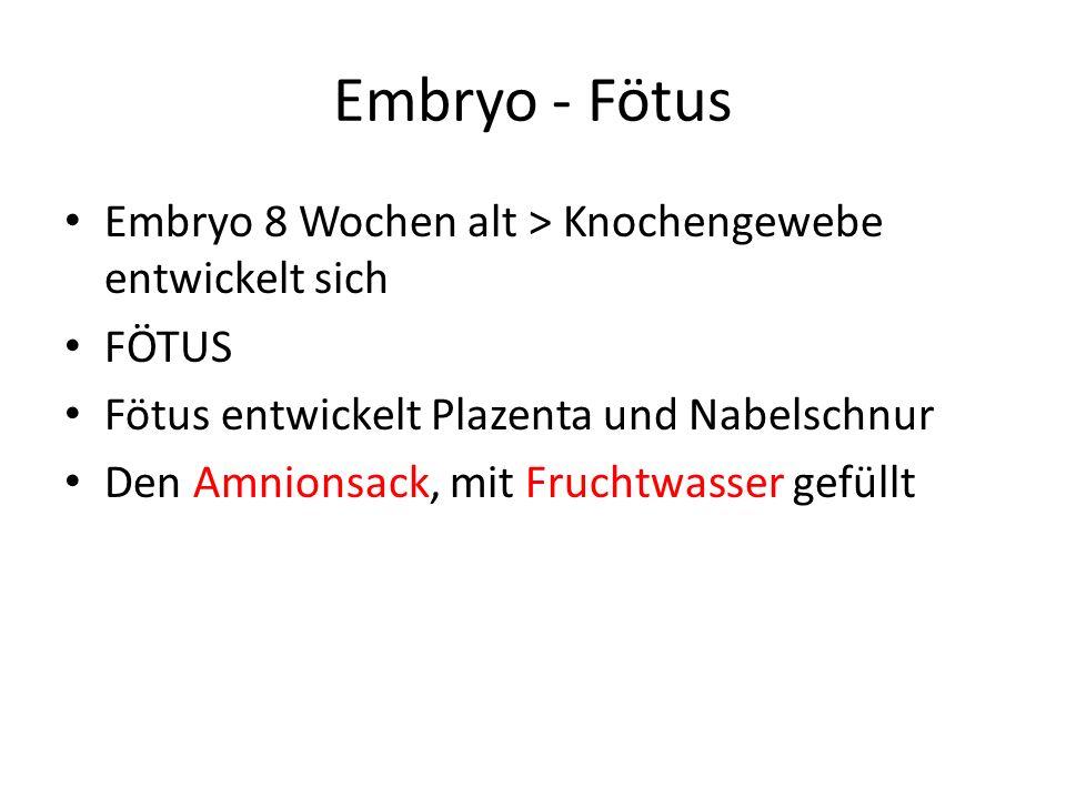 Embryo - Fötus Embryo 8 Wochen alt > Knochengewebe entwickelt sich
