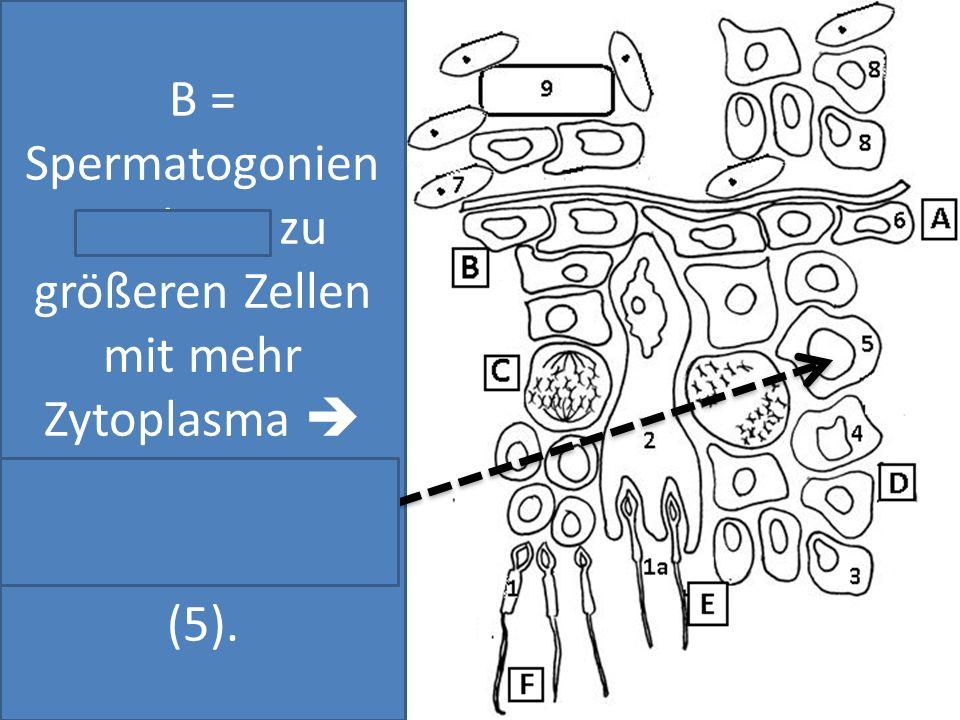B = Spermatogonien wachsen zu größeren Zellen mit mehr Zytoplasma  Primäre Spermatozyten (5).