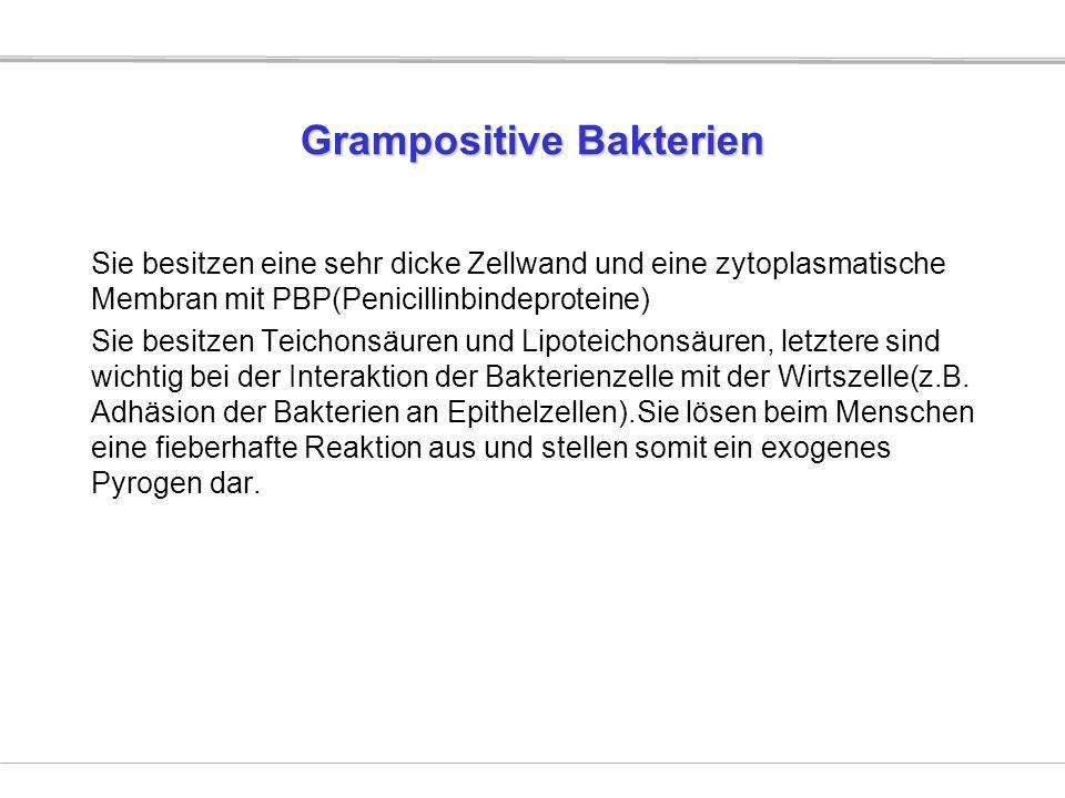 Grampositive Bakterien