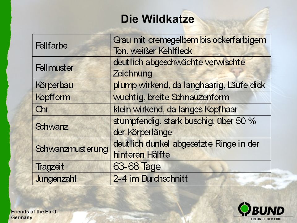 Die Wildkatze Friends of the Earth Germany