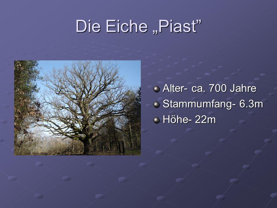 """Die Eiche """"Piast Alter- ca. 700 Jahre Stammumfang- 6.3m Höhe- 22m"""