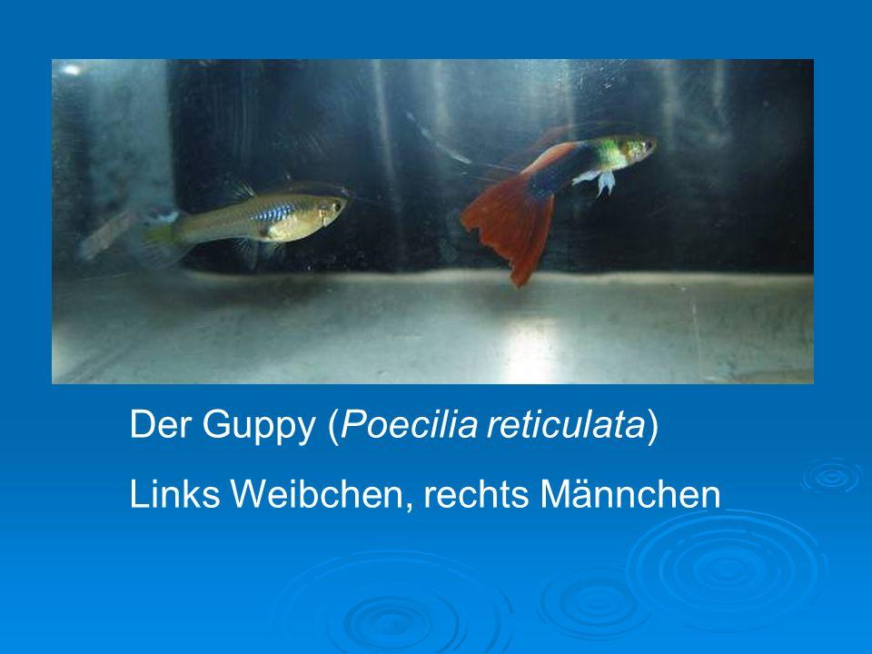 Der Guppy (Poecilia reticulata)