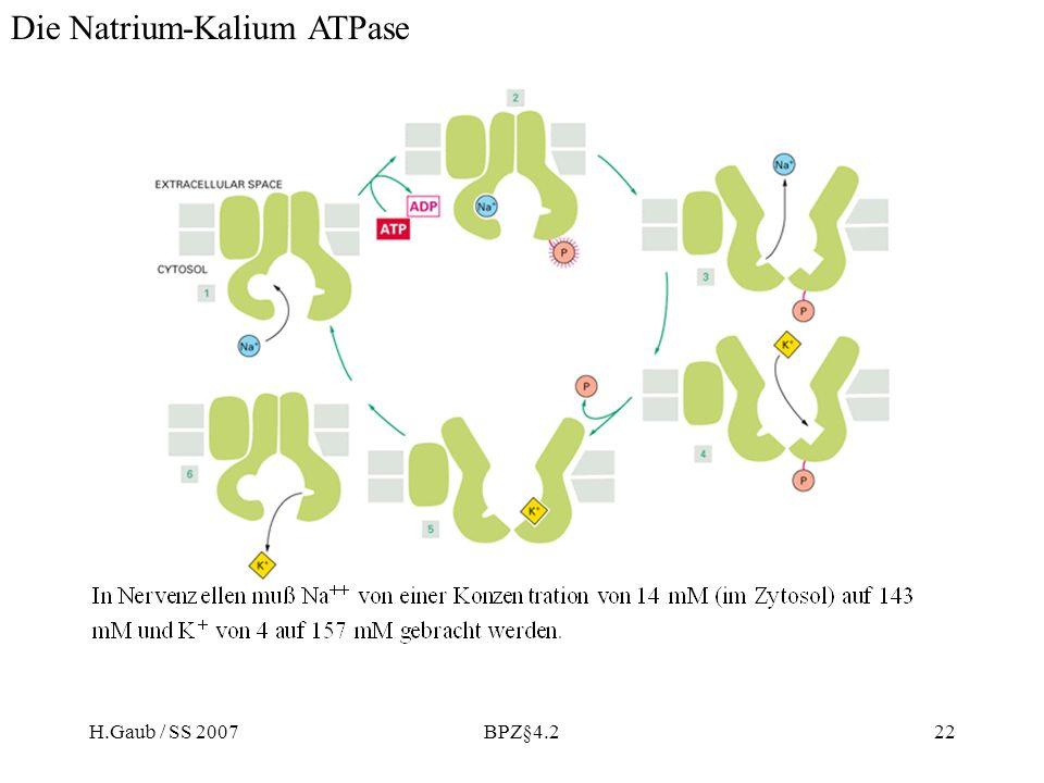 Die Natrium-Kalium ATPase