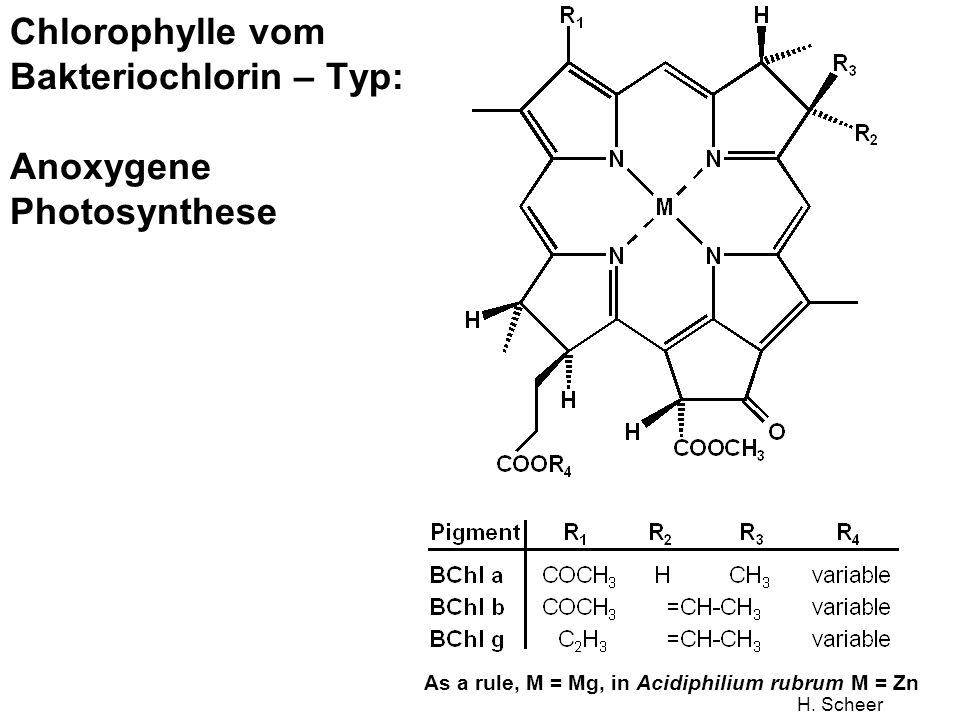 Chlorophylle vom Bakteriochlorin – Typ: Anoxygene Photosynthese