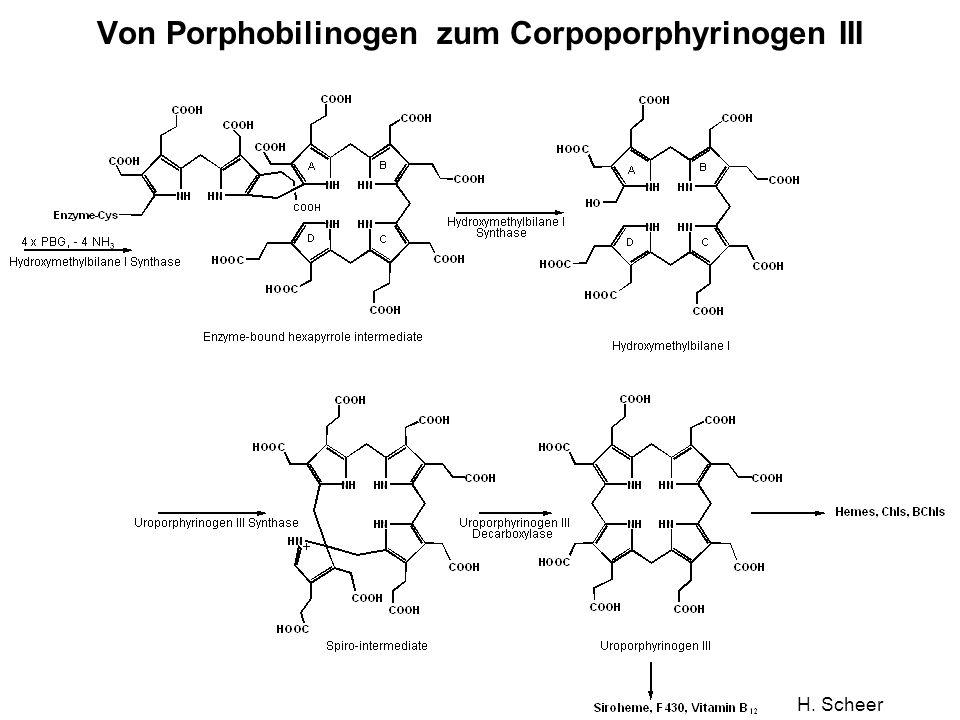 Von Porphobilinogen zum Corpoporphyrinogen III